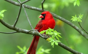 cardinal-perched-on-branch-pc-wallpaper